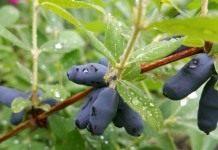 Жимолость: старый сорт сад не портит