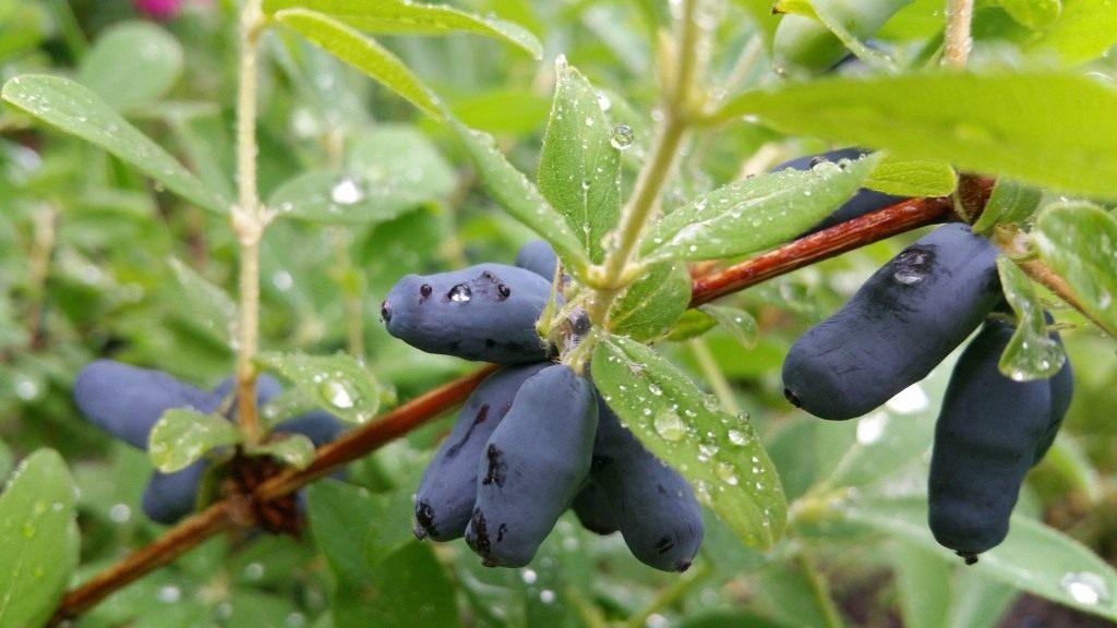 Жимолость съедобная выращивание и уход 85