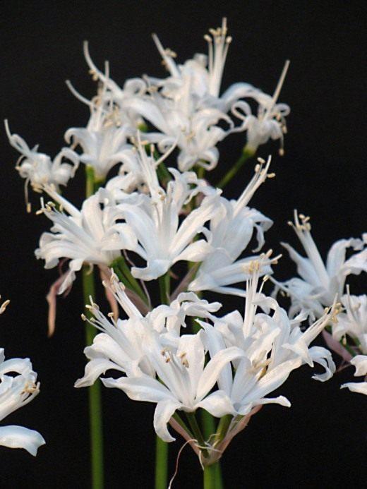 Ликорис белоцветковый (Lycoris albiflora)