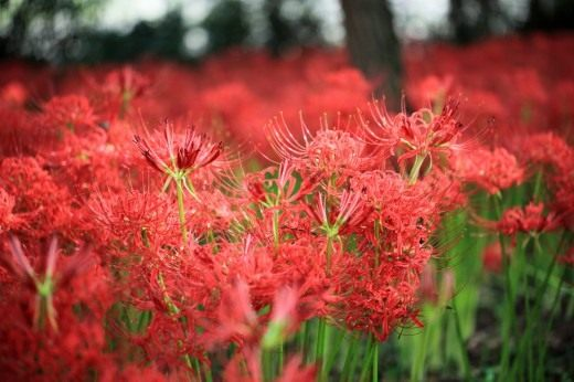 Ликорис лучистый (Lycoris radiata)