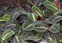 Маранта — зеленый талисман водолея