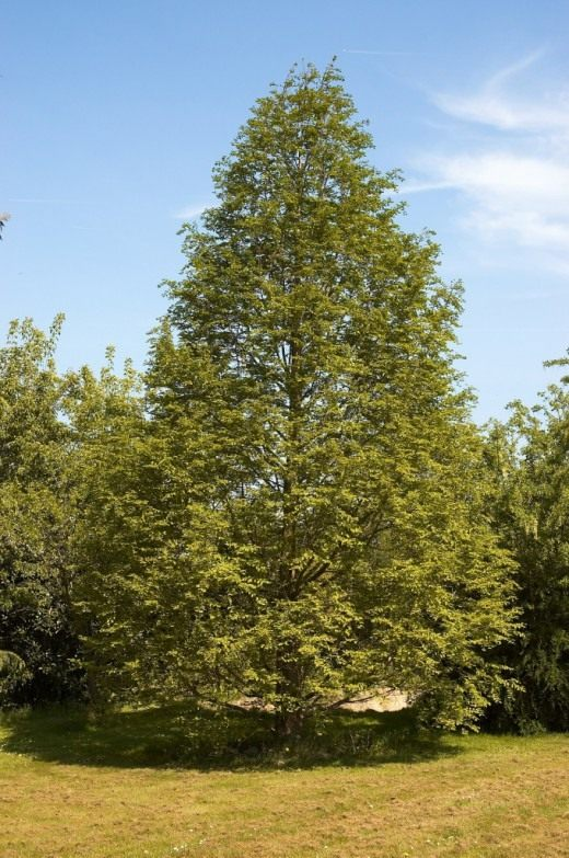Метасеквойя глиптостробовидная, или Метасеквойя глиптостробоидная (Metasequoia glyptostroboides)