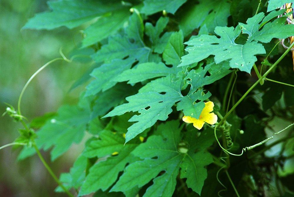 Момордика - выращивание рекомендации