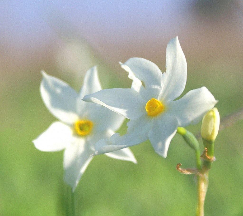 Нарциссы - выращивание и уход новые фото