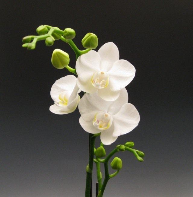 Фаленопсис приятный, или фаленопсис прелестный