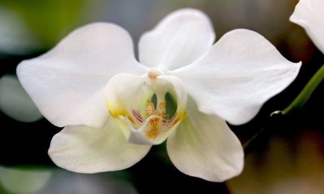 Цветок фаленопсиса приятного