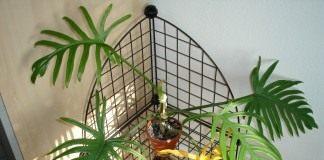 Филодендрон (Philodendron)