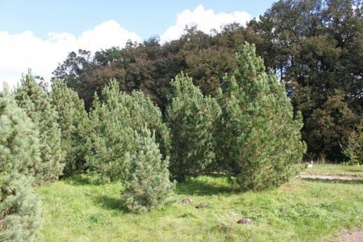 Сосны сибирские кедровые (лат. Pinus sibirica)