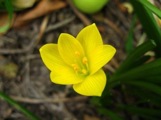 Штернбергия (Sternbergia)