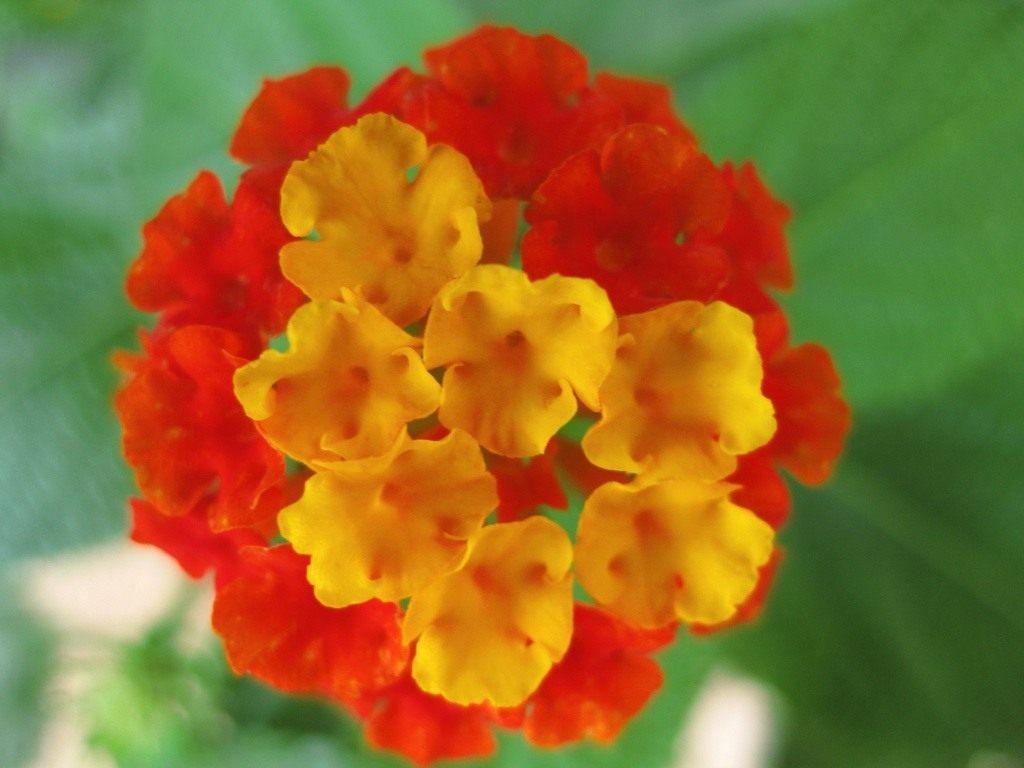 Лантана  веселые соцветия Выращивание лантаны камара