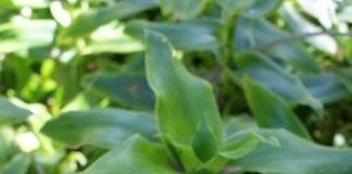 Каллизия душистая, или Золотой ус (Callisia fragrans)