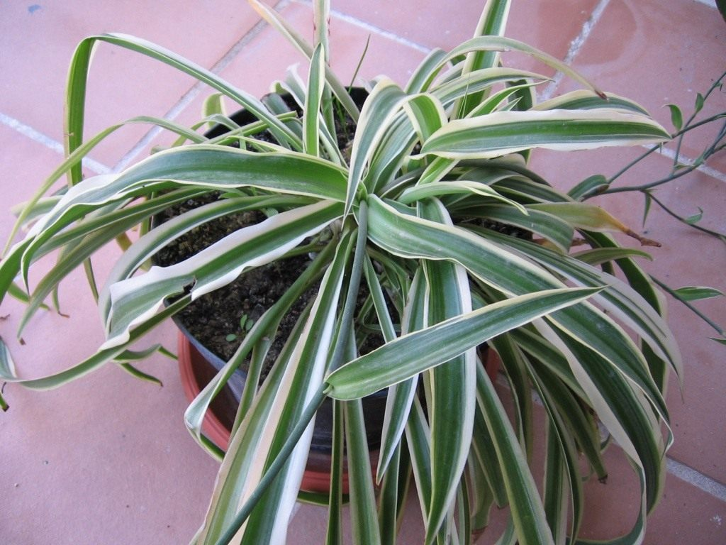 растение хлорофитум