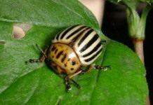 Как избавиться от колорадского жука?