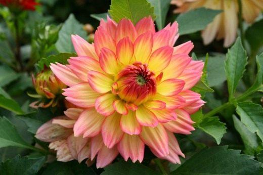Георгины – украшение осеннего сада