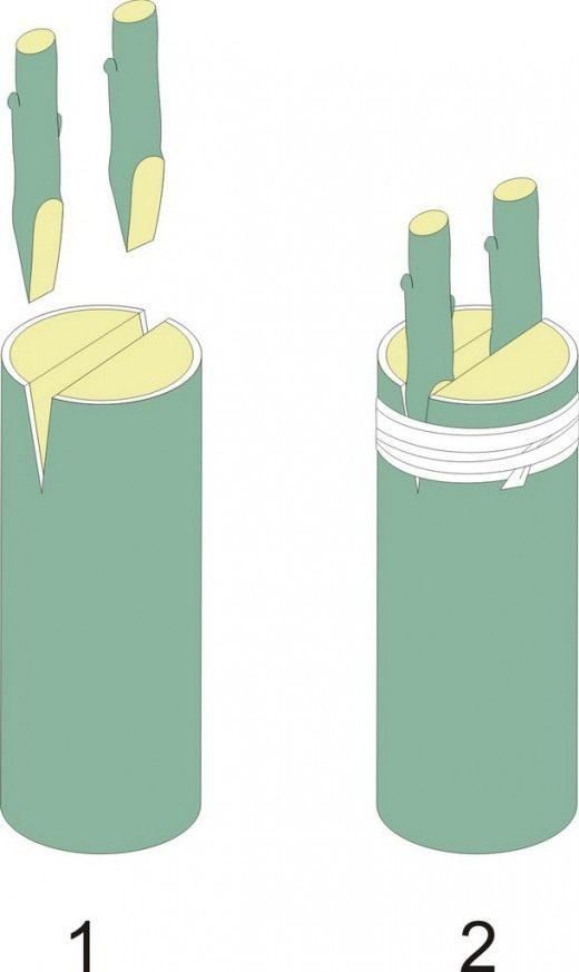 Прививка побега: 1 — В разрез в стебле подвоя вставляется побег привоя, у которого удалена кора; 2 — ткани привоя и подвоя находятся в тесном контакте (Grafting)