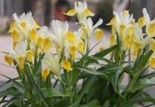 Применение ирисов в декоративном садоводстве