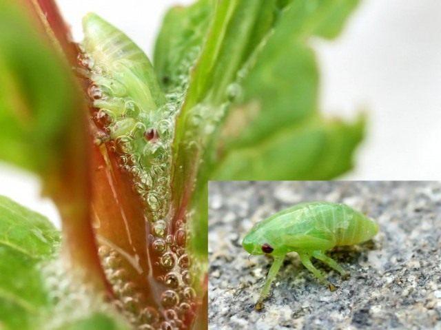 Личинка и признаки поражения Слюнявой пенницей, или всеядной цикадки