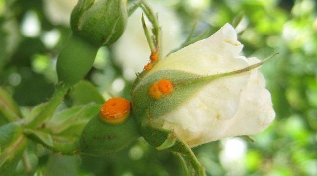 Ржавчина на бутоне розы