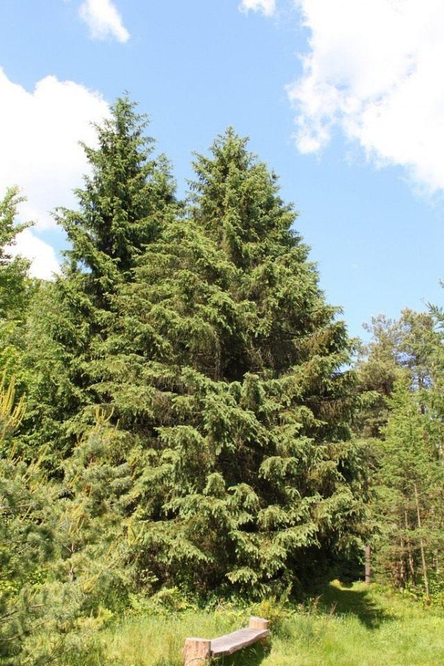 Тянь-шаньская ель (Schrenk's Spruce)