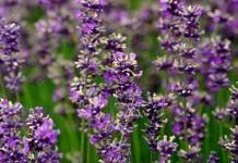 Лаванда — аромат и цвет