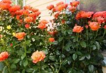 Значение подвоя для розы