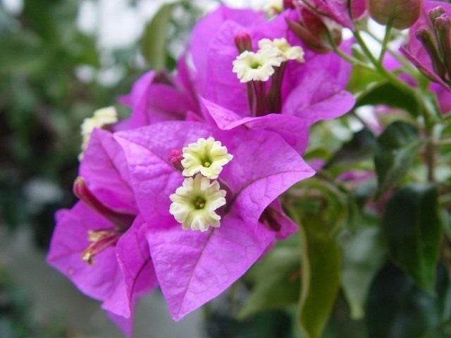 Бугенвиллия голая (Bougainvillea glabra)