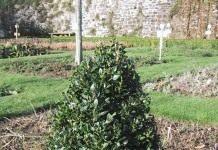 Самшит вечнозеленый: лепи как хочешь
