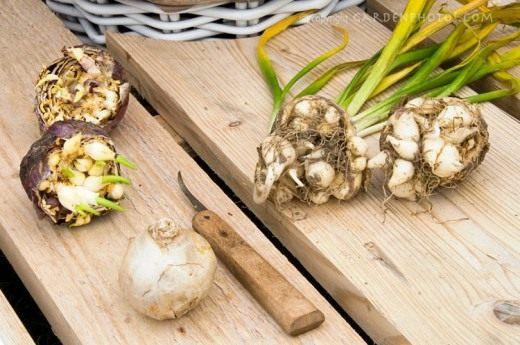 Размножение луковичных культур в комнатных условиях