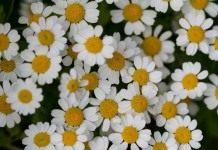 Однолетние цветы для бордюров
