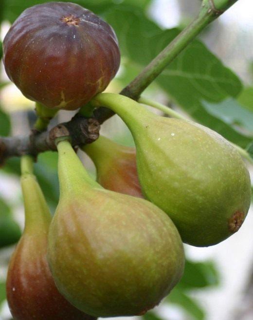 Фиговое дерево, инжир, смоковница