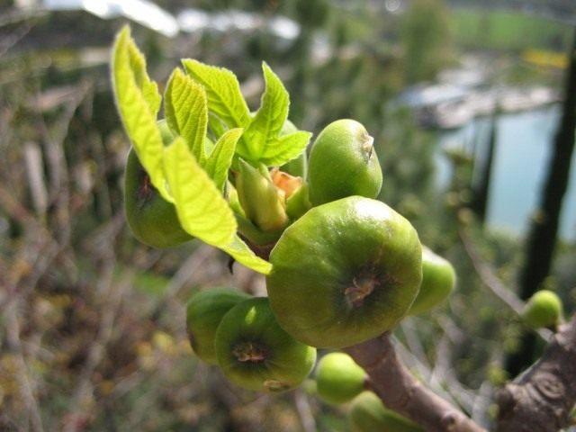 Фиговое дерево, или инжир, или смоковница