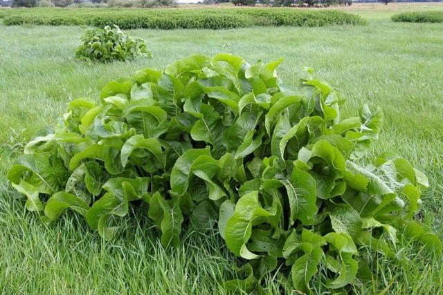 Хрен обыкновенный, или Хрен деревенский (Armoracia rusticana)