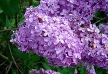 Сирень: посадить и наслаждаться