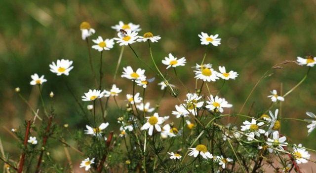 Ромашка аптечная, или Ромашка лекарственная, или Ромашка ободранная (Matricaria chamomilla)