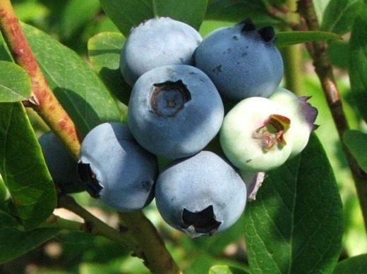Голубика высокорослая (Northern highbush blueberry)