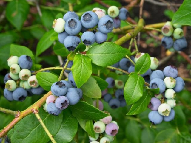Голубика высокорослая «Северная земля» (Vaccinium corymbosum 'Northland')