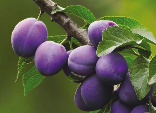 Слива домашняя (Prunus domestica)