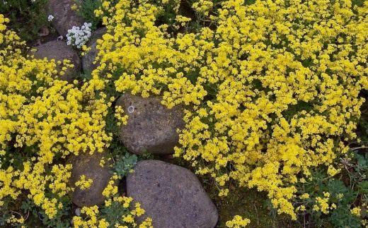 Алиссум скальный (Alyssum saxatile)