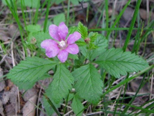 Княженика обыкновенная (Rubus arcticus)