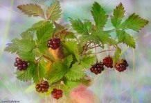 Княженика – царская ягода