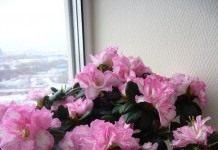 Азалия не уступит розе