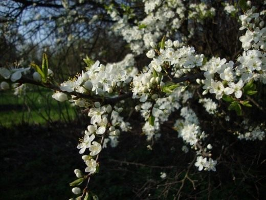 http://www.botanichka.ru/wp-content/uploads/2011/08/Blackthorn-520x390.jpg