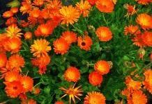 Календула – цветок для красоты и пользы!