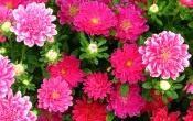Однолетние и двулетние цветы, рекомендуемые для посадки в чаши и кадки
