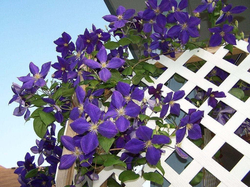 Ru - Plante grimpante fleur bleue ...