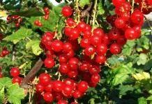 Методика выращивания смородины