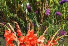 Гордый красавец – гладиолус