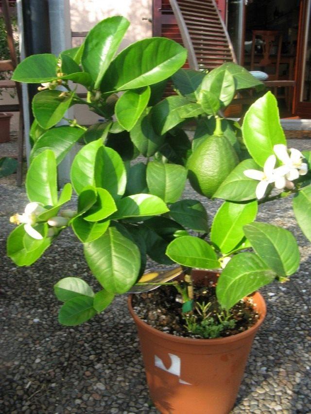 Лимон (Citrus × limon)