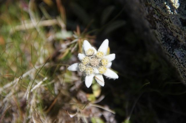 Эдельвейс снежный (Leontopodium nivale)