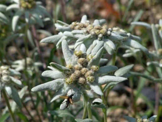 Эдельвейс Палибина (Leontopodium palibinianum)
